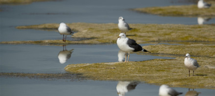 Ecan news story Black backed gull 1105x491px