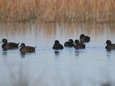 Papango/scaup in the open water area.