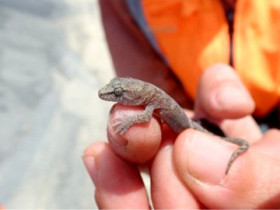 A grass skink being relocated
